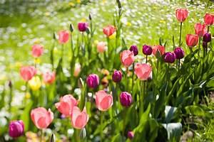 Tulpen Im Garten : robins seite bilder themen garten tulpen1garten ~ A.2002-acura-tl-radio.info Haus und Dekorationen