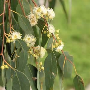 alyssum flowers australian seed eucalyptus melliodora