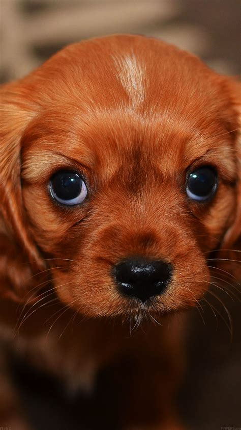 mg cute puppy wallpaper papersco