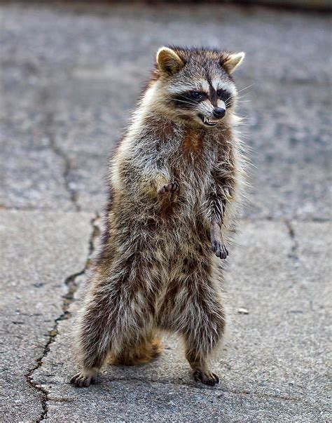 raccoon zombie raccoons ohio distemper teeth behavior legs robert animals baring youngstown hind coggeshall town strange wildlife disease he its
