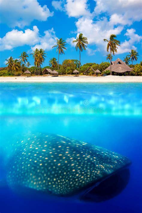 whale shark below stock photo image of feeding large 35377394