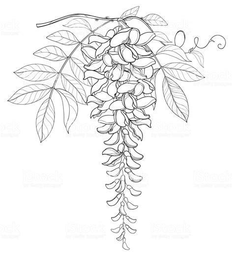 vector branch  outline wisteria  wistaria flower bunch