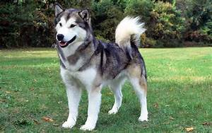 These Dog Breeds Look Like Wolves The Most – iDogFun.com
