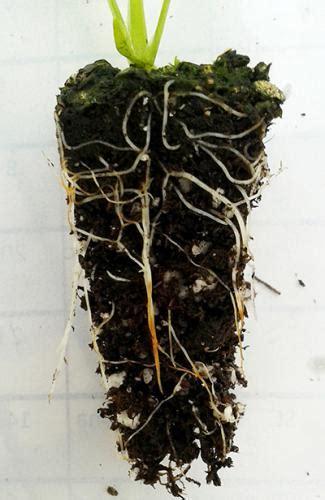 managing root rot  celery seedlings   greenhouse
