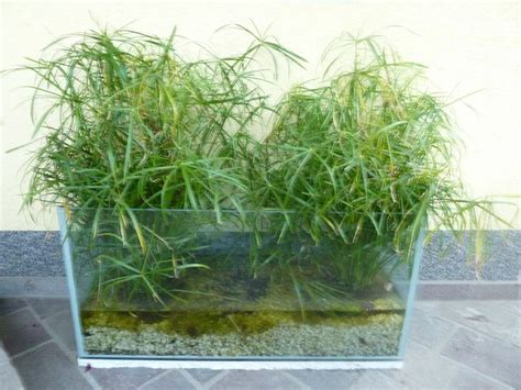 Ein Altes Aquarium, Eine Möglichkeit Wasserpflanzen Für