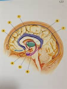 Parts of Brain and Amygdala Pictures