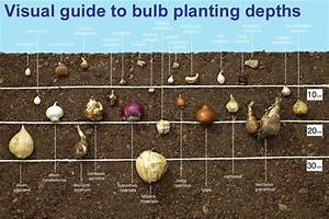Guide To Planting Depths Of Bulbs