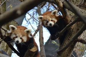 The Red Panda Family Has Two New Cubs  Zoo Bratislava