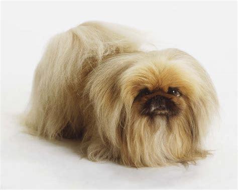 pekingese dog breeds fun animals wiki  pictures