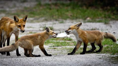 what do foxes eat what does a red fox eat reference com