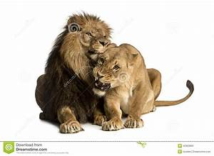 Lion And Lioness Cuddling, Lying, Panthera Leo Stock Photo ...