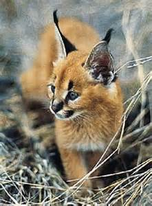 caracal cat caracal antenna cat baby animal zoo
