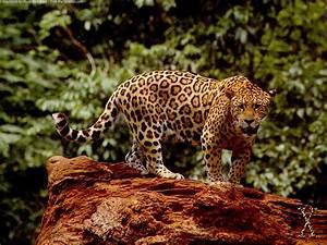 Jaguar Wallpapers HD WallpaperSafari