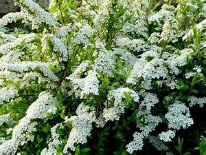 How To Prune A Spirea