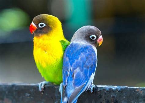 Terlebih bagi anda yang ingin membuat atau mengembangbiakan burung yang satu ini. Cara Mudah Membedakan Burung Lovebird Jantan dan Betina » juraganhobi.com