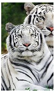 White tigers are coming to the Central Wisconsin State ...