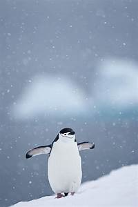 180 best images about penguins on Pinterest | Baby ...