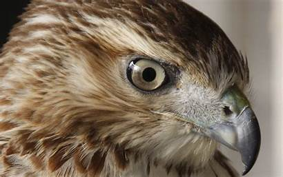 Hawk Birds Prey Falcon Animal Desktop Wallpapers