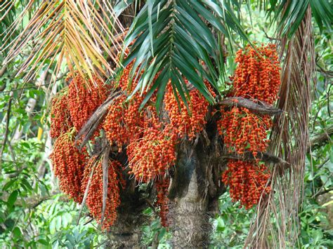 Pejibaye Peach Palmbactris Gasipaes  Zoom's Edible Plants