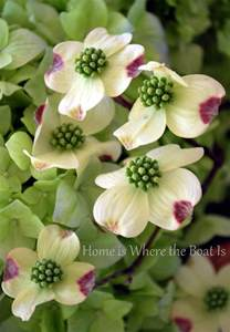 Dogwood Tree Flower Meaning