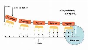 Bbc - Higher Bitesize Biology