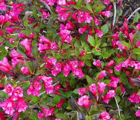 flowering shrubs jen halbesma design s blog top flowering shrubs