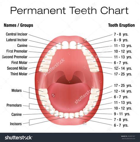 Dog Teeth Eruption Chart