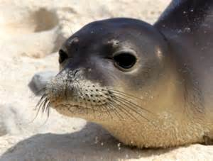 Hawaii State Animal Monk Seal