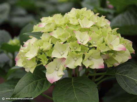 flower hydrangea hydrangea flower pictures hortensia flower pictures