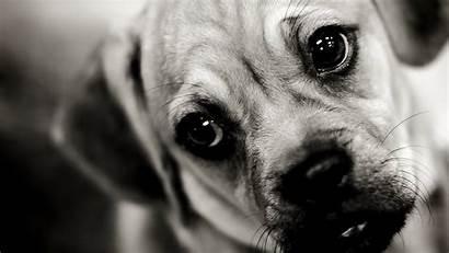 Sad Wallpapers Dog Face Puggle Puppy 1080p
