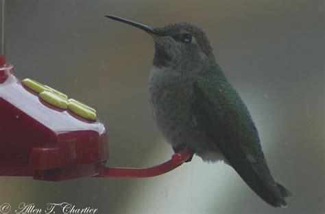michigan hummingbird guy three december hummingbirds in