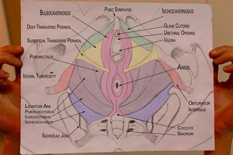 pelvic muscles of the pelvic floor pelvic health and alignment pelvic floor muscles and