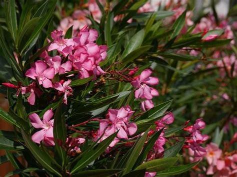 oleander ähnliche pflanzen die oleander pflege bringt tolle bl 252 ten so geht s richtig