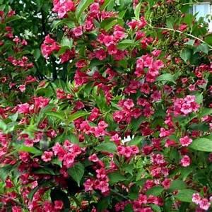 Arbustes Décoratifs à Fleurs : arbuste fleurs rouges liste ooreka ~ Premium-room.com Idées de Décoration