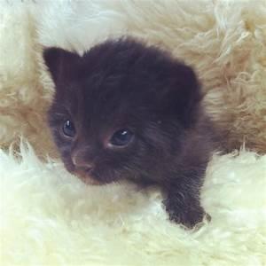 Gallery For > Black Baby Kittens