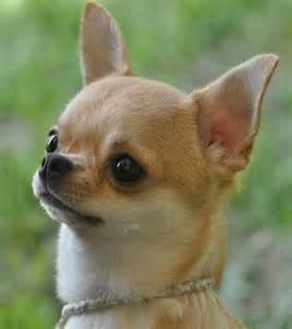 Apple Head Chihuahua