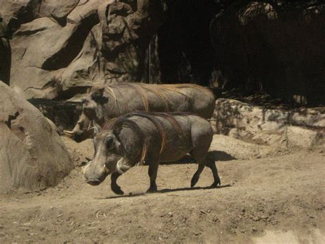 Animal Hd Wallpapers 1600x1200 - animals warthog 1600x1200 wallpaper high quality