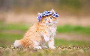 Wallpaper Cute Kitten, Adorable, Hairband, HD, Animals, #897
