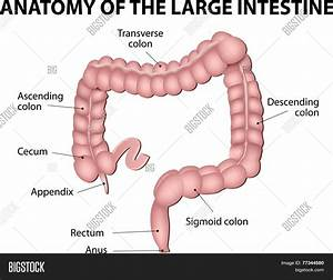 Large Intestine  Vector  U0026 Photo  Free Trial
