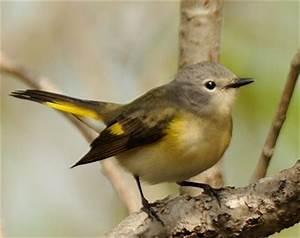 Oiseau Jaune Et Bleu : petit oiseau vert jaune petit oiseau noir bec jaune jitep ~ Melissatoandfro.com Idées de Décoration
