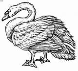 Swan Coloring Pages Buddha Mute Sketch Gautam Clipart Clip Drawings sketch template
