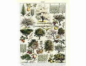 1933 Vintage Orchard Print  Fruit Tree Pruning Guide