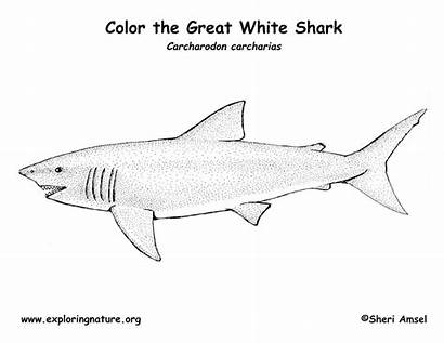 Shark Coloring Pages Printable Reference Exploring Nature