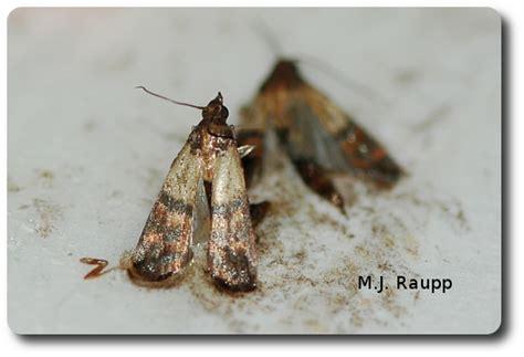 Indian Pantry Moth Pantry Surprises Indian Meal Moth Plodia Interpunctella