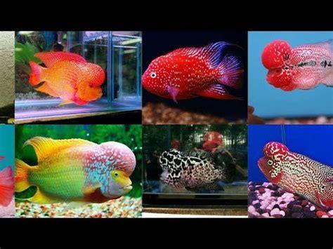flowerhorn fish floran fish wholesaler wholesale
