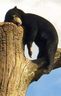funny black bear exhausted luvbat