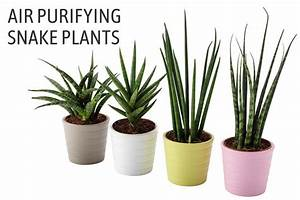 Sansevieria trifasciata growing - How to Care for Snake