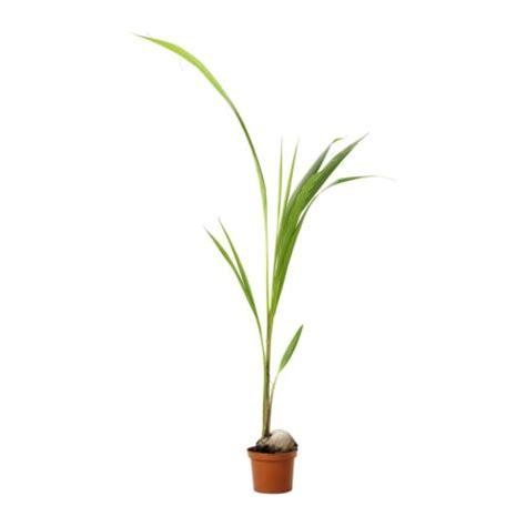 cocos nucifera planta ikea
