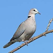 grey dove with black ring around neck ring necked dove