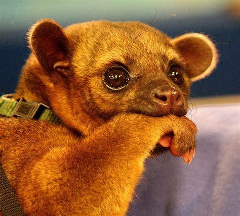kinkajou pet 24 best kinkajou images on pinterest exotic animals wild animals and rare animals